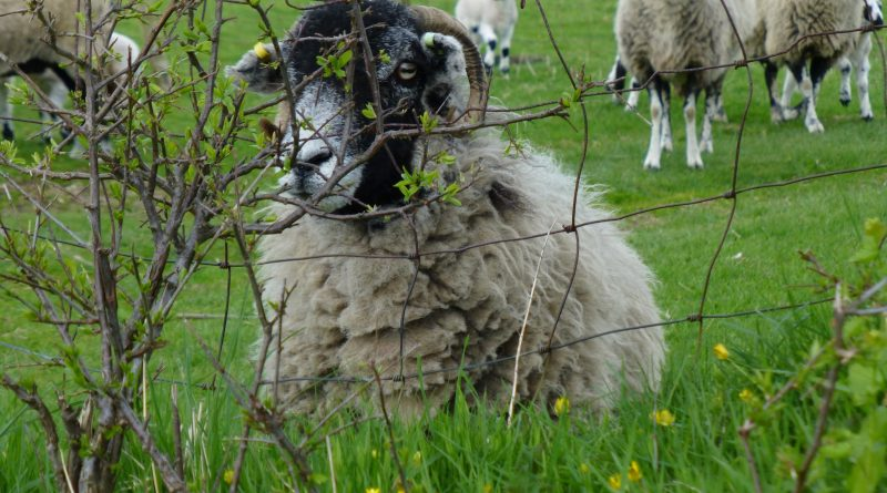 Swaledale sheep behind wire fence. Photo by Best Places Travel