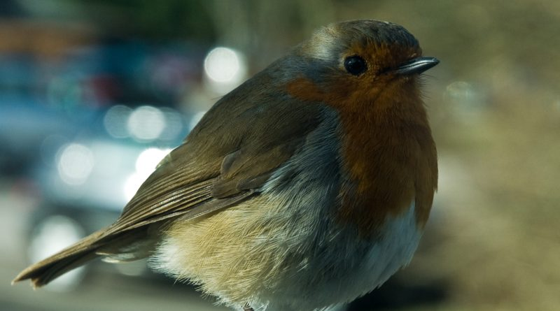 Tame Robin in Hawkshead village. Photo by Dave Willis